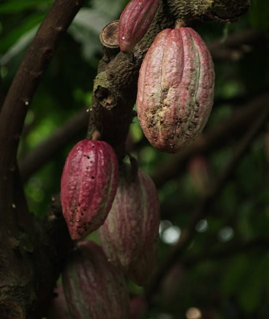Cacao bean sweets