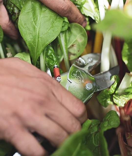 Man cutting spinach with secateurs