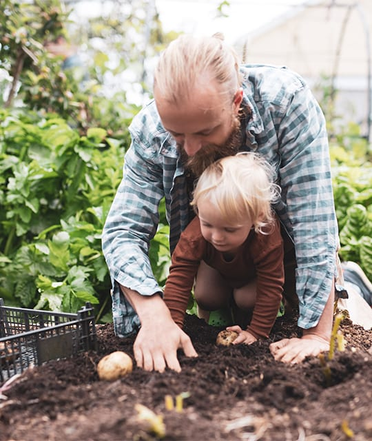 Father and son picking potatoes in a smallholding